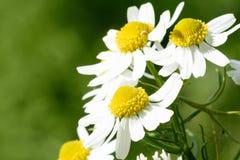 wildflowers Immagine Stock