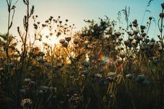 Wildflowers am Abend bei Sonnenuntergang Stockbild