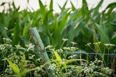 Wildflowers al lado del campo de maíz Imagen de archivo