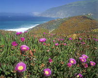 Wildflowers along Pacific Coast Highway, CA Royalty Free Stock Photos