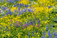 Wildflowers alpestres Photo stock