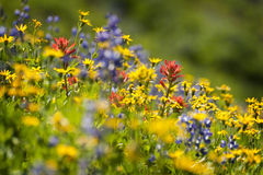 Wildflowers alpestres Photos stock