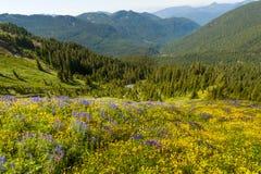 Wildflowers alpestres Fotografía de archivo libre de regalías