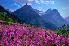 Wildflowers in alpine meadows and rocky mountains. Glacier National Park. Montana. United States Stock Photography