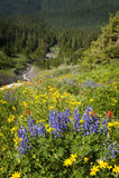 Wildflowers alpinos Foto de Stock