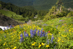 Wildflowers alpinos Fotos de Stock
