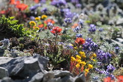 Wildflowers alpinos altos Fotografia de Stock