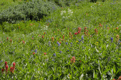 Wildflowers alpins Photos libres de droits