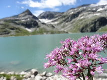 Wildflowers alpins Adenostyles Photographie stock libre de droits