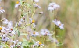 Wildflowers alpins dans un pré alpin dans le Colorado Photographie stock