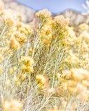 Wildflowers amarelos Fotografia de Stock