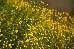 Wildflowers amarelos Fotos de Stock Royalty Free
