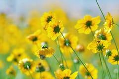 Wildflowers amarelos Imagens de Stock Royalty Free