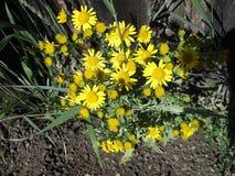 Wildflowers amarelos imagem de stock