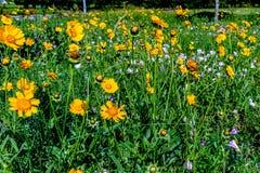 Wildflowers amarelos brilhantes bonitos de Lanceleaf Coresopsis em um Fi imagens de stock