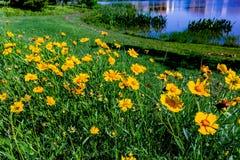 Wildflowers amarelos brilhantes bonitos de Lanceleaf Coresopsis em um Fi fotografia de stock royalty free