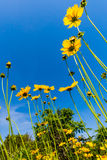 Wildflowers amarelos brilhantes bonitos de Lanceleaf Coresopsis em um Fi imagem de stock