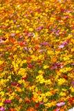 Wildflowers amarelos e cor-de-rosa brilhantes da borda da estrada Imagem de Stock