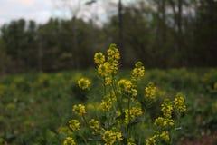 Wildflowers amarelos em um campo na primavera imagens de stock