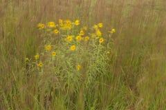 Wildflowers amarelos Windblown Fotos de Stock Royalty Free