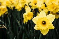 Wildflowers amarillos Fotografía de archivo libre de regalías