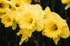 Wildflowers amarillos Foto de archivo libre de regalías