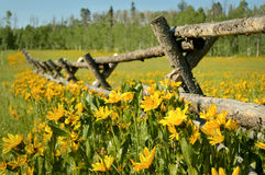 Wildflowers amarillos Imagen de archivo