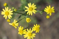 Wildflowers amarillos Imagen de archivo libre de regalías