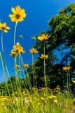 Wildflowers amarillos brillantes hermosos de Lanceleaf Coresopsis en un Fi Fotos de archivo