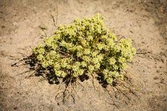 Wildflowers amarillos de Cryptanth del ojo Imagenes de archivo
