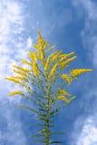 Wildflowers amarillos de la inflorescencia Fotos de archivo