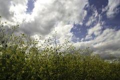 Wildflowers amarillos en un día nublado Fotografía de archivo libre de regalías