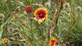 Wildflowers amarillos y rojos Imagen de archivo