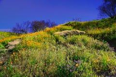 Wildflowers anaranjados de las amapolas de California que caminan la trayectoria fotografía de archivo libre de regalías