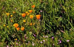 Wildflowers anaranjados de las amapolas de California que caminan la trayectoria fotografía de archivo