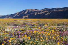 Wildflowers in Anza Borrego Royalty Free Stock Image