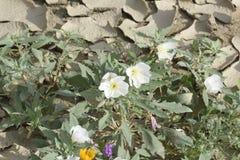 Wildflowers après la pluie émergeant de la terre criquée Photographie stock libre de droits