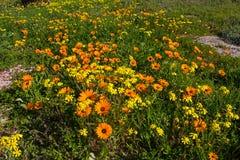 Wildflowers arancio e gialli della margherita in primavera Fotografie Stock Libere da Diritti