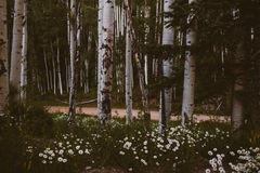 Wildflowers and Aspen trees Royalty Free Stock Image