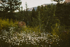 Wildflowers and Aspen trees Stock Photo