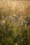 Wildflowers auf der Wiese Lizenzfreies Stockfoto