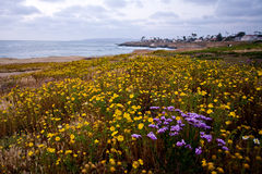 Wildflowers auf Küstenklippen Stockfotografie