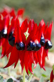 Wildflowers Austrália Imagens de Stock