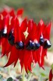 Wildflowers Australië Stock Afbeeldingen