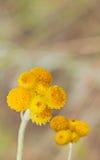 Wildflowers australiani Billy Buttons giallo della primavera Immagine Stock Libera da Diritti