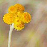 Wildflowers australiani Billy Buttons giallo della primavera Immagini Stock Libere da Diritti