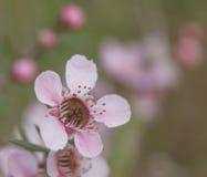 Wildflowers australianos Leptospermum rosado en primavera Fotografía de archivo