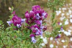 Wildflowers Australie occidentale Eremophila Cuneifolia Photos libres de droits