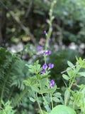 Wildflowers azuis do índigo imagens de stock
