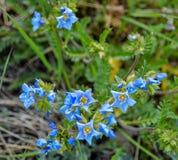 Wildflowers azuis na floresta nacional de Chugach foto de stock